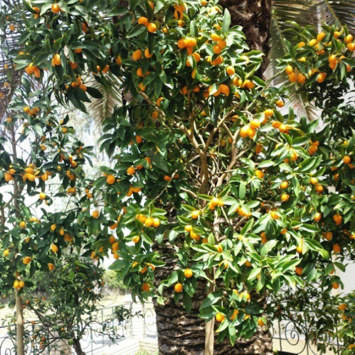 Kumquat-IGfritidsresor